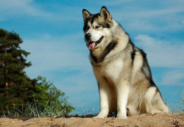 Аляскинский маламут - популярная порода собак