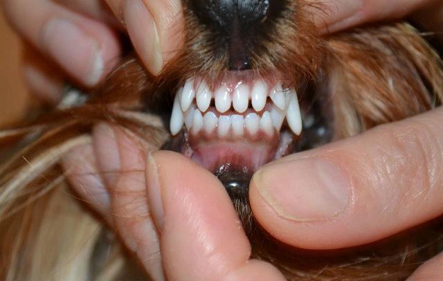 Смена зубов у шпица - профилактика проблем