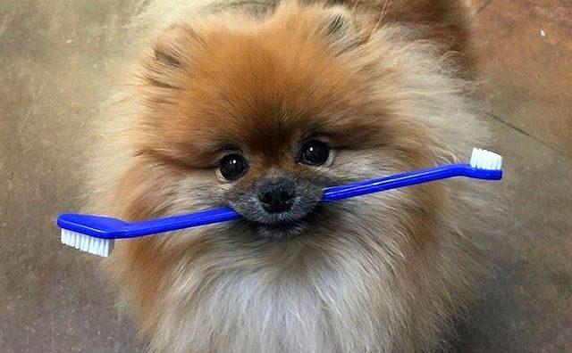 Шпиц - чистка зубов