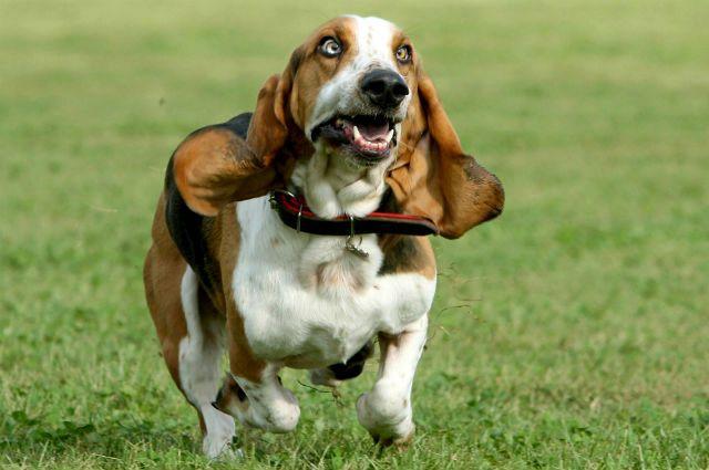 Самые смешные породы собак - Бассет-хаунд
