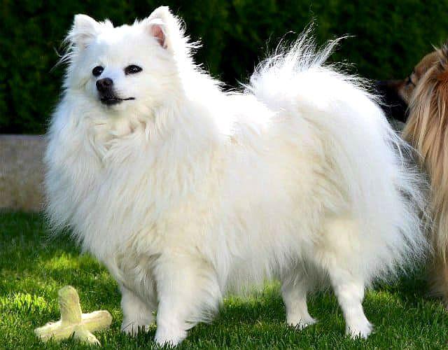 Собака породы Вольпино итальяно