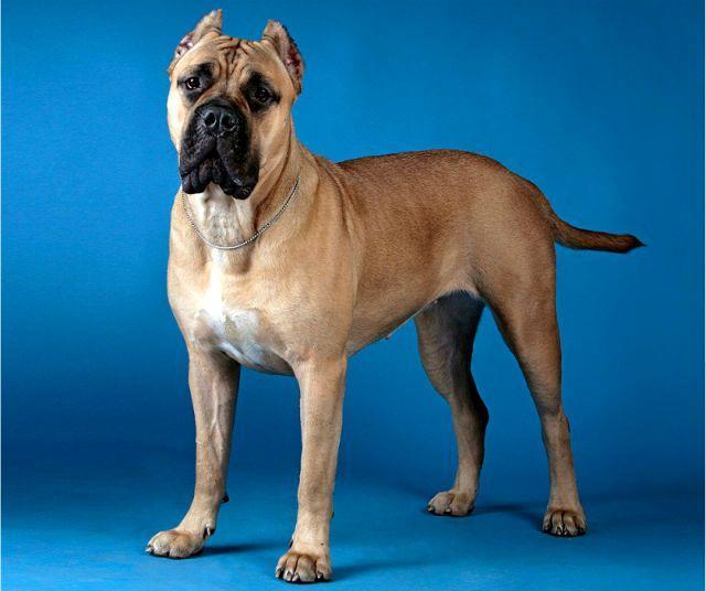 Порода собаки - канарский дог
