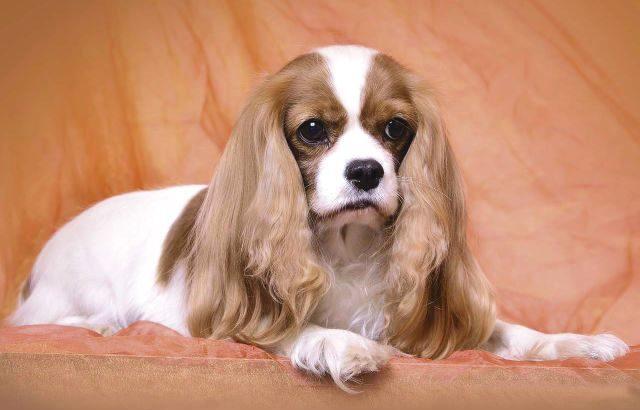 Рейтинг самых спокойных собак - Кавалер-кинг-чарльз-спаниель
