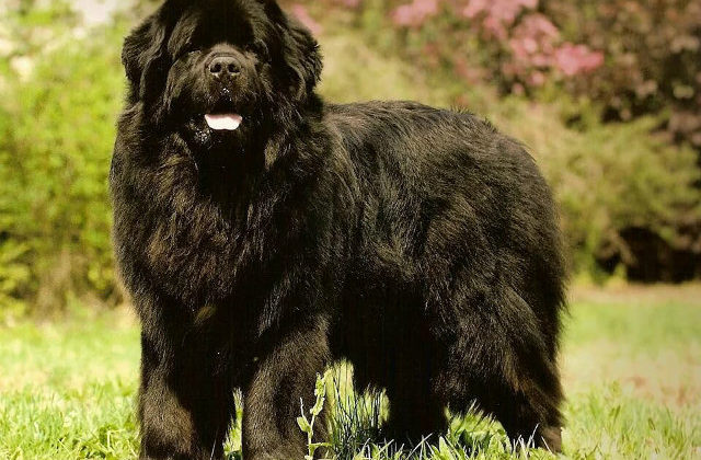Ньюфаундленд - спокойная порода собак