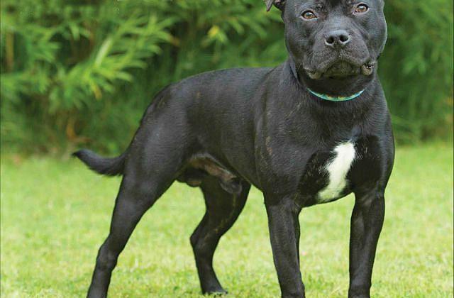 Стаффордширский бультерьер - взрослый пес