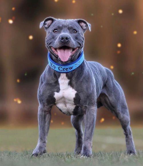 Стаффордширский бультерьер - воспитание собаки