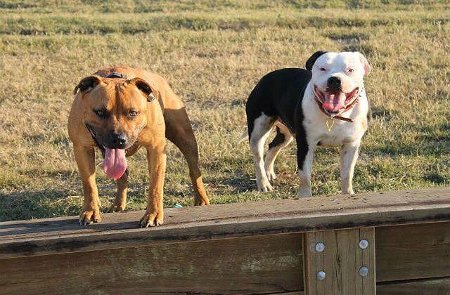 Собаки породы Стаффордширский бультерьер