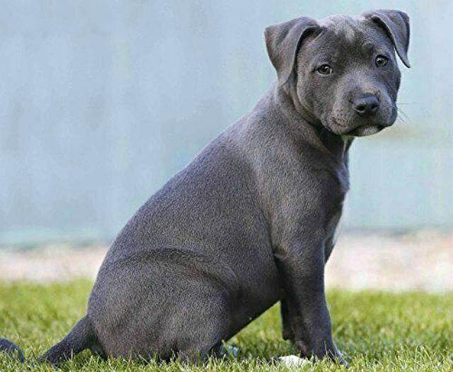 Стаффордширский бультерьер - выбор щенка