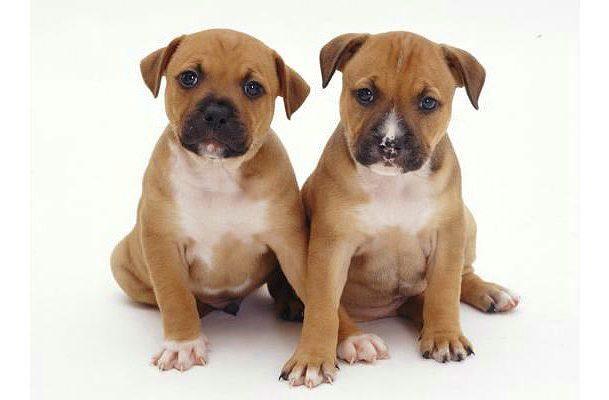 Стаффордширский бультерьер - щенки