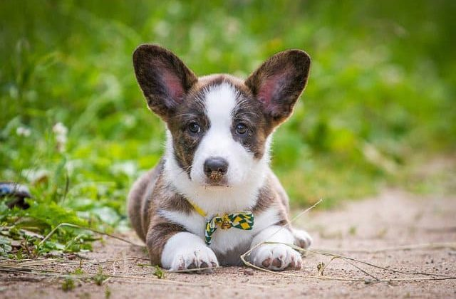 Вельш-корги-кардиган - щенок