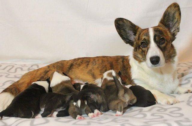 Вельш-корги-кардиган с новорожденными щенками
