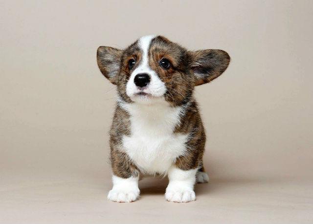 Вельш-корги-кардиган - выбор щенка