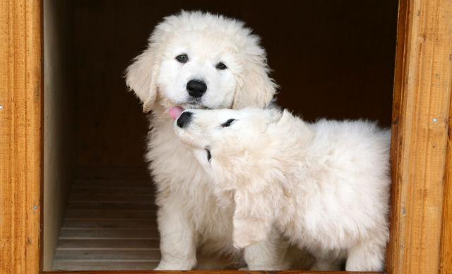 Венгерский кувас - красивые породы собак