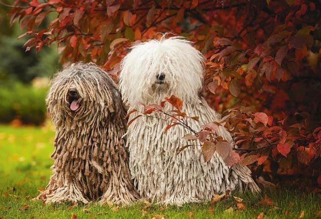 Самые смешные породы собак - Венгреская овчарка Пули