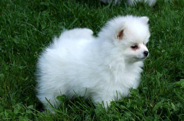 Вольпино итальяно - щенок в траве