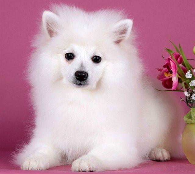 Вольпино итальяно - щенок
