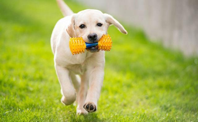 Воспитание и дрессировка щенка лабрадора