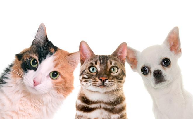 кто умнее кошка или собака