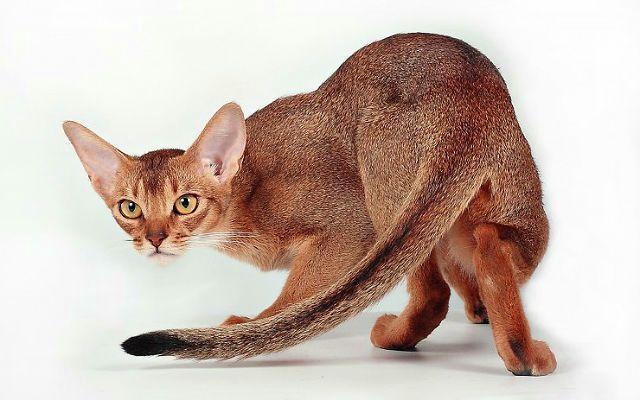 Абиссинская кошка - главное фото