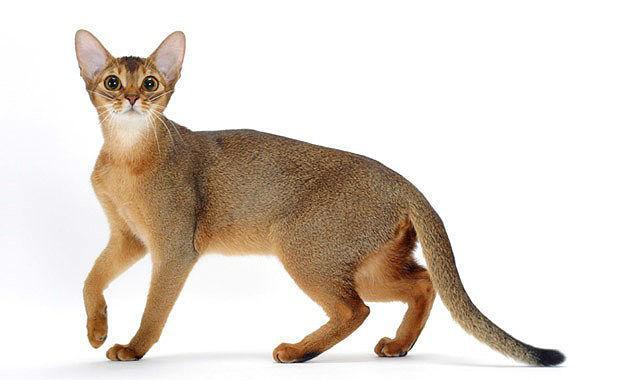 Грациозная Абиссинская кошка