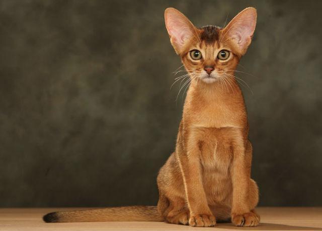 Котенок абиссинец