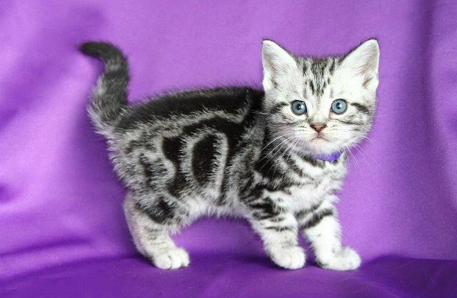 Американская короткошерстная - котенок