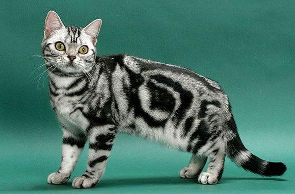 Американская короткошерстная кошка на зеленом фоне