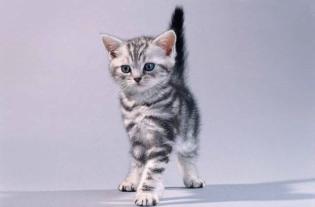 Американская короткошерстная кошка с поднятым хвостом