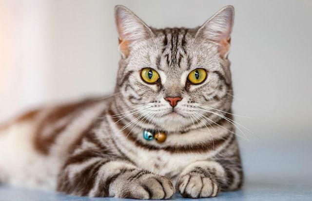 Американская короткошерстная кошка с желтыми глазами