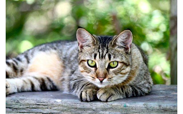 Американская короткошерстная кошка на улице