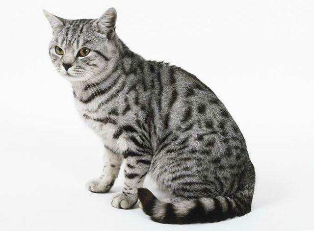 Американская короткошерстная кошка - вид сбоку