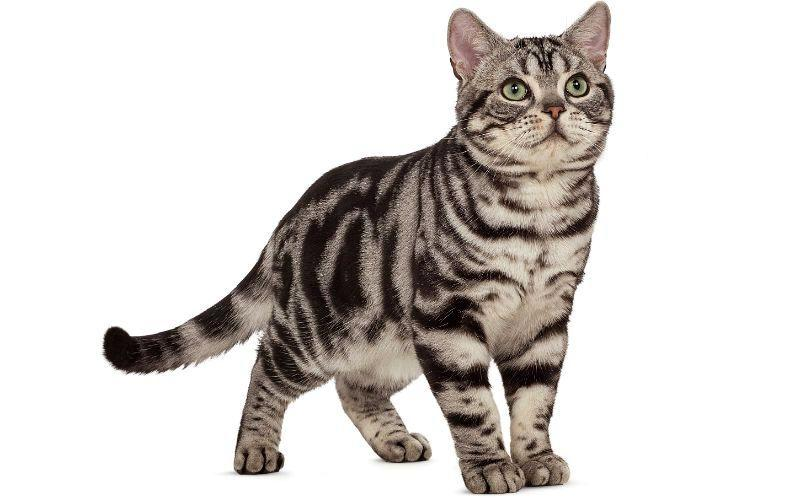 Кошка - Американская короткошерстная