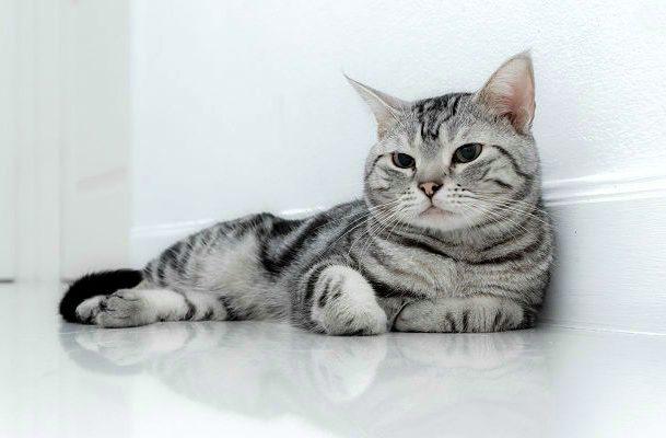Американская короткошерстная кошка лежит у стены