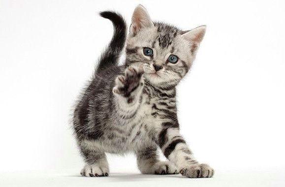 Американская короткошерстная - игривый котенок