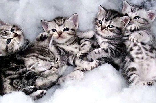 Котята породы Американская короткошерстная