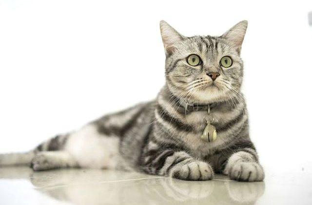 Американская короткошерстная кошка - вид спереди