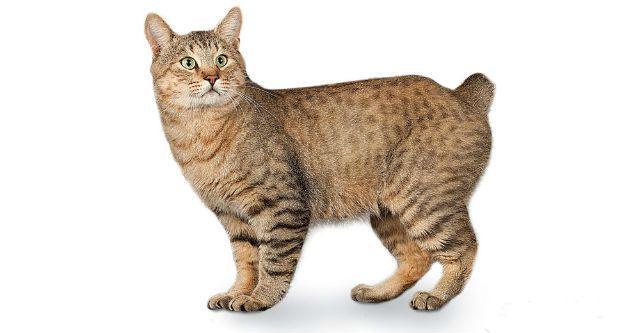 Короткошерстный кот - Американский бобтейл