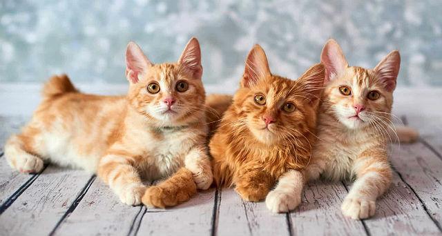Американский бобтейл - выбор котенка