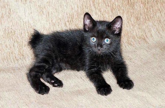 Американский бобтейл - черный котенок