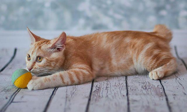 Американский бобтейл - котенок с игрушкой