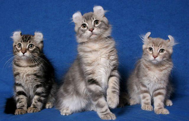 Американский керл - котята