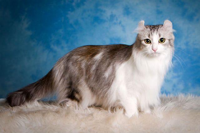 Американский керл - кошка-красавица