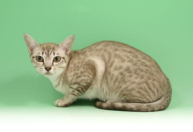 Полосатая кошка Азиатская табби