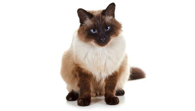 Балинезийская кошка - главное фото
