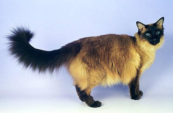 Балинезийская кошка трехцветного окраса