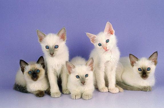 Балинезийская кошка - котята