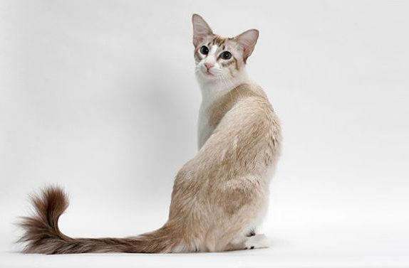 Балинезийская кошка - вид сзади