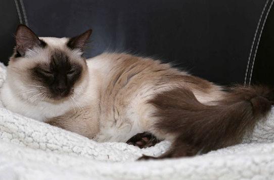 Балинезийская кошка лежит