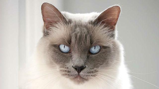 Балинезийская кошка - морда, глаза