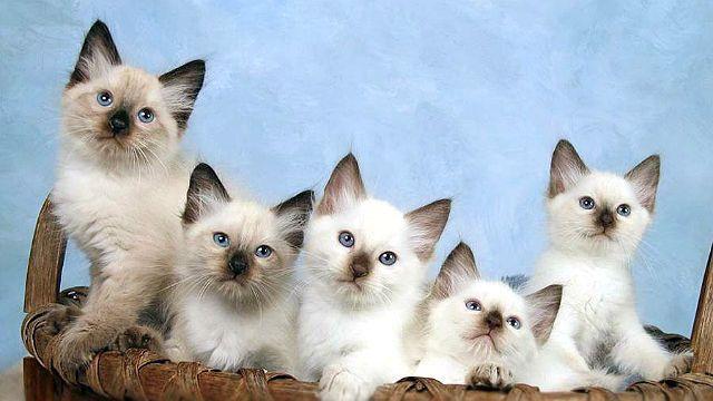 Балинезийская кошка - выбор котенка